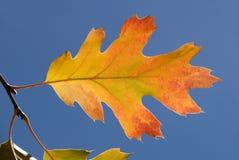 Lame de chêne d'automne photos libres de droits