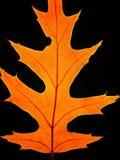 Lame de chêne d'automne sur le fond noir Images libres de droits