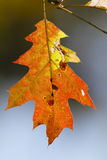 Lame de chêne rouge en automne Photographie stock libre de droits