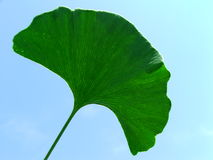 Lame de Ginkgo Images stock