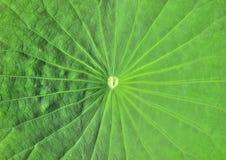 Lame de lotus photo stock