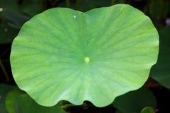 Lame de lotus photos stock
