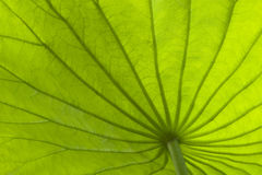 Lame de lotus Images stock