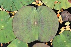 Lame de lotus Photo libre de droits