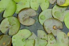 Lame de lotus Photographie stock libre de droits