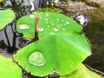 Lame de lotus avec la baisse de l'eau Images libres de droits