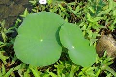 Lame de Lotus dans l'étang Images libres de droits