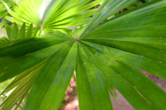 Lame de palmier Photos stock
