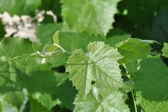 Lame de vigne Photographie stock