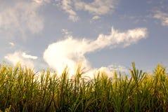 Lame dell'erba di re al tramonto fotografia stock