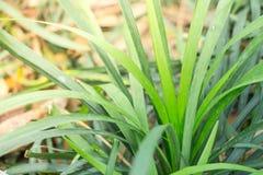 Lame di erba fini nell'ambito di luce solare naturale calda che dà una nuova prospettiva sulla piscina riflettente Questa pianta  Fotografie Stock