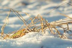 Lame di erba nella neve Immagine Stock
