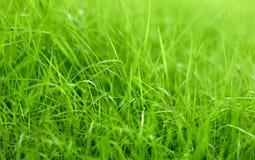 Lame di erba verde del prato inglese, macro, struttura del fondo fotografia stock libera da diritti