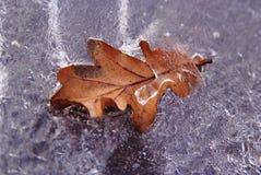 Lame jaune d'oalk en glace photographie stock libre de droits