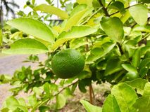 Lame. Lime on lime tree.asian fruit and vegetable Royalty Free Stock Photos