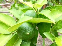 Lame. Lime on lime tree.asian fruit and vegetable Stock Photos