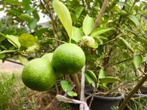 Lame. Lime on lime tree.asian fruit and vegetable Royalty Free Stock Image