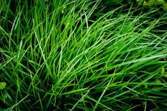 Lame lunghe di erba fresca Fotografia Stock