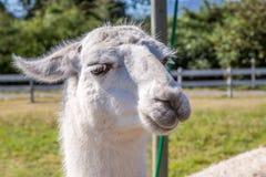 Lame nella Patagonia Fotografia Stock