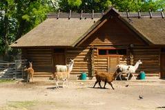 Lame nello zoo di Kaliningrad Fotografie Stock