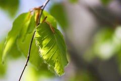 Lame neuve de hêtre au printemps Photographie stock libre de droits