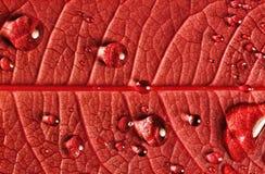 Lame rouge avec des baisses de l'eau Photo stock