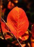Lame rouge d'automne Photographie stock