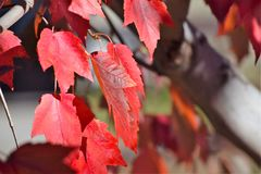 Lame rouge d'automne Photos stock