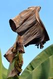 Lame sèche de banane Image stock