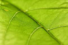 Lame verte avec des veines Image stock