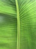 lame verte de banane Photographie stock libre de droits
