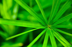 Lame verte de famille de Cyperaceae Photographie stock