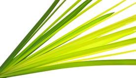 lame verte de Multi-ombre de papyrus de la Chypre Photos stock
