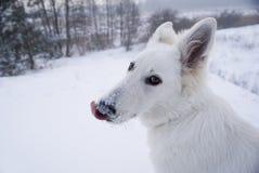 Lamedura del perro fotos de archivo