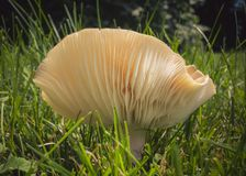 The lamellae of a mushroom. Head of a mushroom in the grass of my land. Photo taken in summer 2017 on my field in the countryside. Quebec, Canada Stock Photos