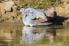 Lamentar mergulhou sentando-se em uma rocha no waterhole no Kalahari foto de stock