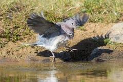 Lamentar mergulhou sentando-se em uma rocha no waterhole no Kalahari imagem de stock royalty free