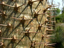 Lamerei di Pachypodium Fotografia Stock