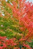 Lames colorées dans l'arbre d'automne Photographie stock libre de droits