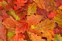 Lames colorées de chêne d'automne Photos stock