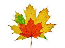 Lames colorées vives d'érable d'automne Photos libres de droits