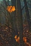 Lames contre éclairées de chêne Image stock
