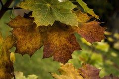 Lames d'érable d'automne sur un branchement Photos stock
