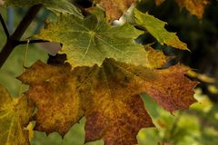 Lames d'érable d'automne sur un branchement Photographie stock libre de droits