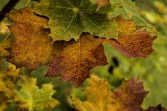 Lames d'érable d'automne sur un branchement Photos libres de droits
