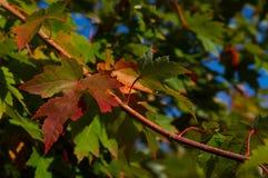 Lames d'érable d'automne Photo stock