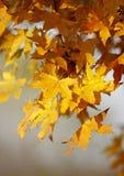 Lames d'érable d'automne Photo libre de droits