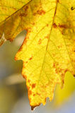Lames d'érable d'automne Photographie stock