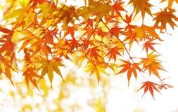 Lames d'érable d'automne Images stock