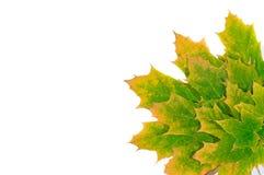 Lames d'érable d'automne Image libre de droits